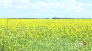 Survey shows decrease in canola production for 2019
